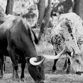 Alan Look - Texas longhorn steer in black and white