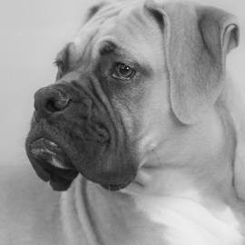 Christine Till - The Boxer Dog - the Gentleman amongst dogs