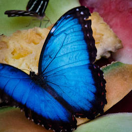 David Patterson - The Common Blue Morpho Butterfly