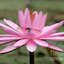 Sabrina L Ryan - The Dragonfly and the Pink Water Lily