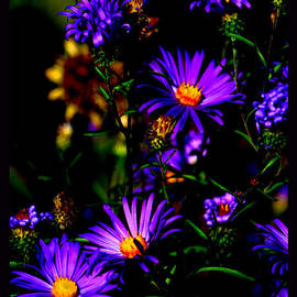 Susanne Still - The Gorgeous Aster Family