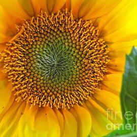 Sean Griffin - The Last Sunflower