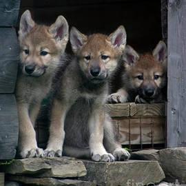 Deborah  Smith - Timber Wolf Pups