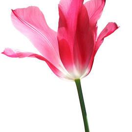 Jennie Marie Schell - Translucent Pink Tulip Flower