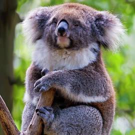 Mike  Dawson - Treetop Koala