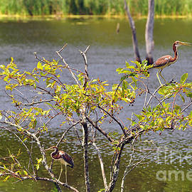 Al Powell Photography USA - Tricolored Heron Tree