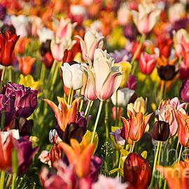 Okan YILMAZ - Tulips