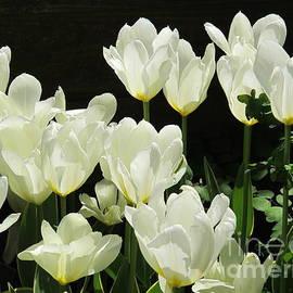 B Rossitto - Tulips White
