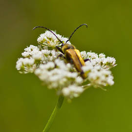 Mitch Shindelbower - Velvet Beetle On Buckwheat