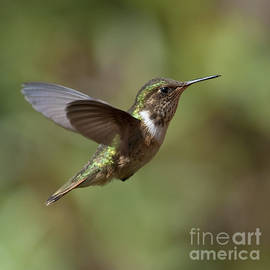 Nina Stavlund - Volcano Hummingbird