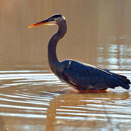 Paul Lyndon Phillips - Wading Great Blue Heron  - c3217d