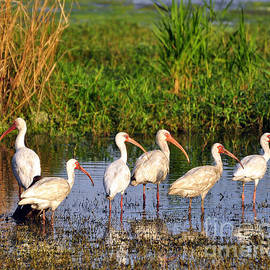 Al Powell Photography USA - Wading Ibises