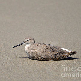 Al Powell Photography USA - Waiting Willet
