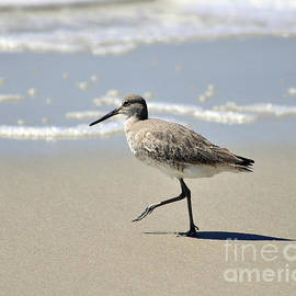 Al Powell Photography USA - Walking Willet