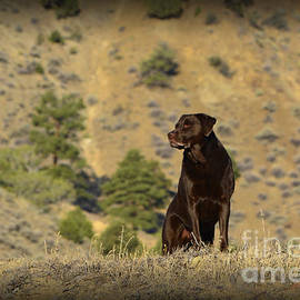 Donna Van Vlack - Watchful Chocolate Labrador Retriever