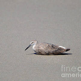 Al Powell Photography USA - Weary Willet
