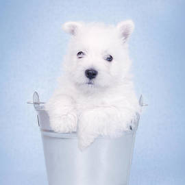 Waldek Dabrowski - West Highland White Terrier puppy in the bucket