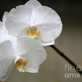 Sabrina L Ryan - Wet White Orchids