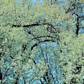 Kathleen Struckle - White Blossoms