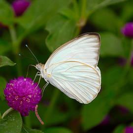 Eva Kaufman - White Butterfly