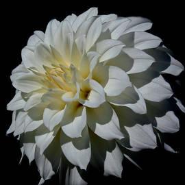Athena Mckinzie - White Dahlia