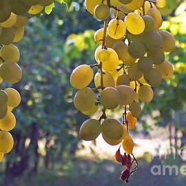 Barbara McMahon - White Grapes