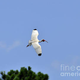 Al Powell Photography USA - White Ibis in Flight