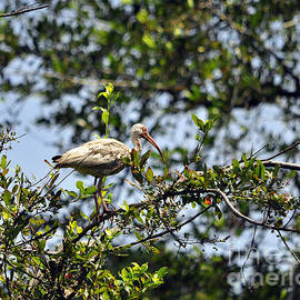 Al Powell Photography USA - White Ibis Roosting