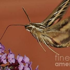 Joy Bradley - White -lined Sphinx Hummingbird Moth
