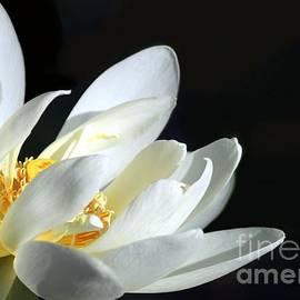 Sabrina L Ryan - White Lotus