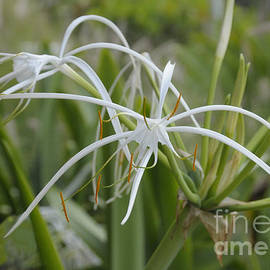 Cindy Lee Longhini - White Spider Orchid