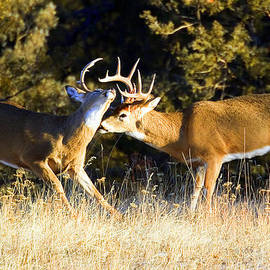 Merle Ann Loman - White-tailed bucks sparring