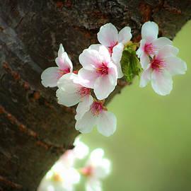 Emanuel Tanjala - Wild cherry blossom