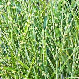 Tom Gowanlock - Wild grass