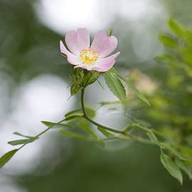 Steven Poulton - Wild Rose  Rosa acicularis