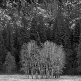 Troy Montemayor - Winter Trees Ahwahnee Meadow Yosemite National Park