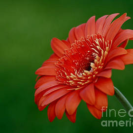 Inspired Nature Photography Fine Art Photography - Wonder of Nature Gerber Daisy