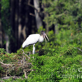 Al Powell Photography USA - Wood Stork Juvenile