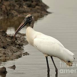 Al Powell Photography USA - Wood Stork Pose