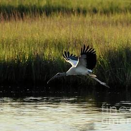 Al Powell Photography USA - Wood Stork Winged Flight