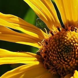 Bruce Bley - Yellow Daisy Close Up
