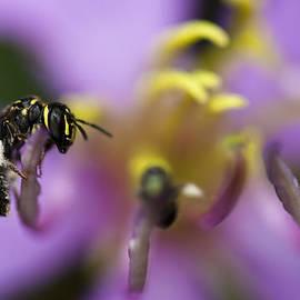 Zoe Ferrie - Yellow Faced Bee