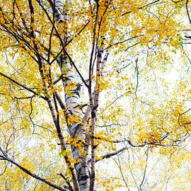 Jenny Rainbow - Yellow Lace of the Birch Foliage