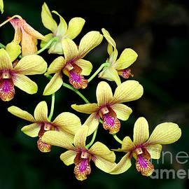Sabrina L Ryan - Yellow Orchid Cascade