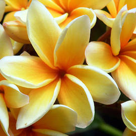 Vicky Tarcau - Yellow Plumeria