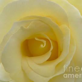 Jennie Marie Schell - Yellow Rose Macro