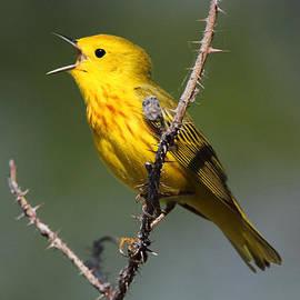 Doug Lloyd - Yellow Warbler Singing