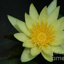 Sharon Mau - Yellow Waterlily - Nymphaea mexicana - Hawaii