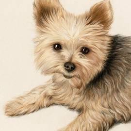 Heather Mitchell - Yorkie Puppy
