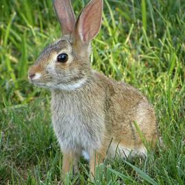 Sandi OReilly - Young Rabbit